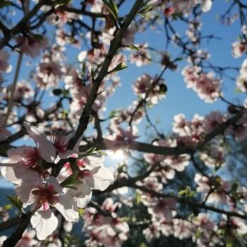 Mandorli in fiore. (Foto: Liberapia Armillotta)